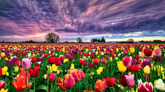 14.05.01 tulip-fields-8770-9109-hd-wallpapers