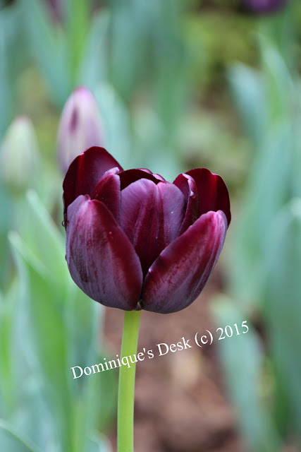 A dark maroon tulip