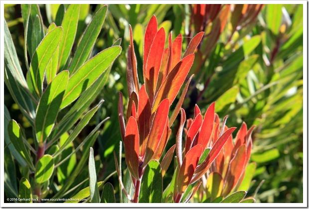 160813_UCSC_Arboretum_Protea-Pink-Ice_002