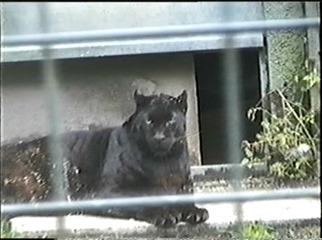 1998.09.09-014 panthère noire