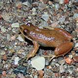 Chorus Frog (Tim Dyson)