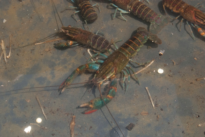 crayfish3.jpg