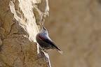 ESCALADE   Le tichodrome maîtrise l'ascension des falaises !