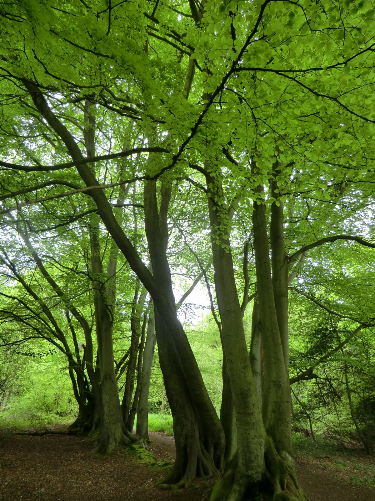 CIMG2928 Beech trees in spring, The Chart