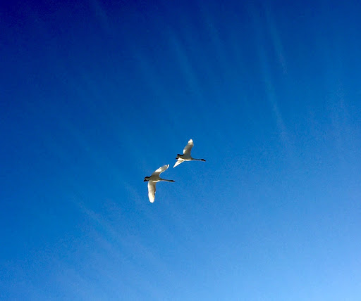 Many trumpeter swans in flight with the warm weather
