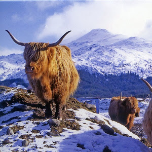 Highland Cattle kimdir?