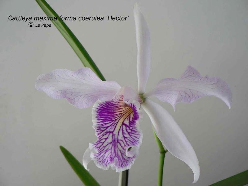Cattleya maxima coerulea 'Hector' - Page 2 Cattleya%252520maxima%252520forma%252520coerulea%252520%252527Hector%252527%252520b%252520copie