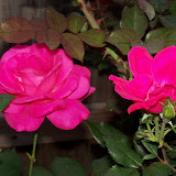 Gardening 2011 - 100_7282.JPG
