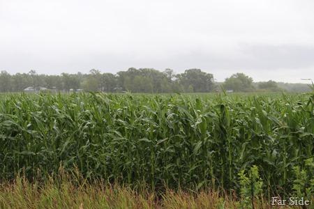 Steves corn
