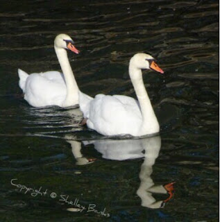 Mute Swans.Paris. Copyright  © Shelley Banks, all rights reserved.