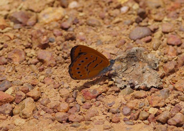 Sevenia amulia CRAMER, 1777. Piste vers Ebogo, Cameroun, 8 avril 2012. Photo : J.-M. Gayman