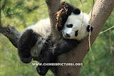 Napping Chinese Panda Photo 2