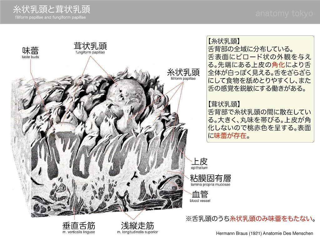 filiform-papillae-and-fungiform-papillae.jpg