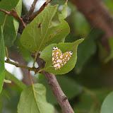 Nolidae : Chloephorinae : Sinna extrema WALKER, 1854. Yulong (Yulong Xueshan, 3200 m), au Nord de LIjiang (Yunnan), 17 août 2010. Photo : J.-M. Gayman