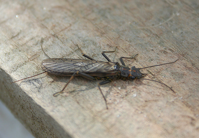 Stonefly (note tail-like appendages)