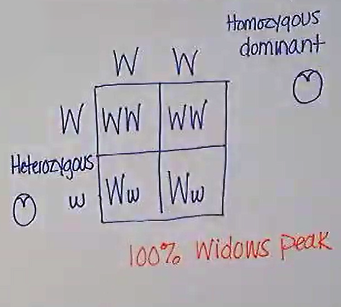 punnetsquares (3).png