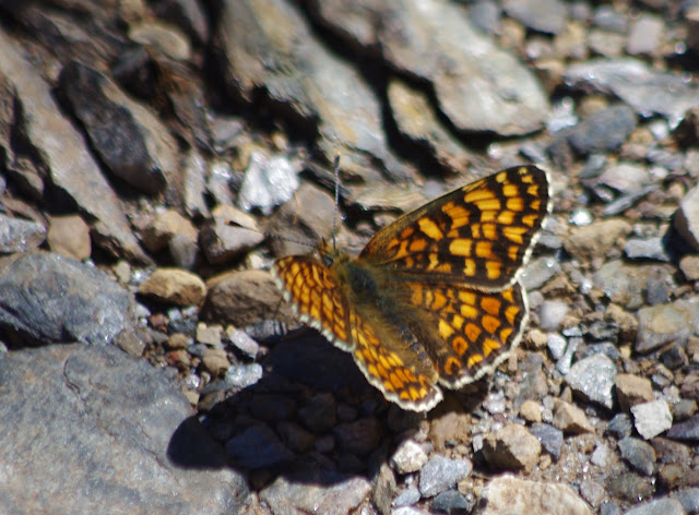 Cinclidia phoebe phoebe (DENIS & SCHIFFERMÜLLER, 1775), mâle. Tras le Mont, 800 m, Cocurès (Lozère), 10 août 2013. Photo : J.-M. Gayman