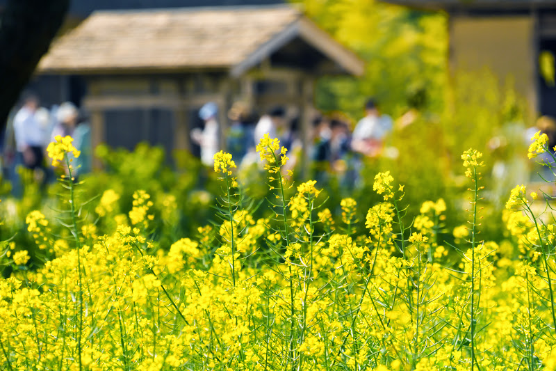 Hitachi Seaside Park rape blossoms photo2