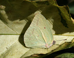 Catopsilia florella.3.jpg