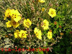 Heliantheme a feuille d'arroche Halimium halimifolium.jpg