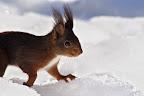 JE PARS LOUER DES RAQUETTES !?Écureuil en lisière forestière
