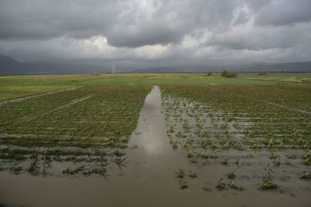 A field of plantains is flooded one day after the impact of Hurricane Maria in Yabucoa, Puerto Rico, Thursday, 21 September 2017. Photo: Carlos Giusti / AP Photo