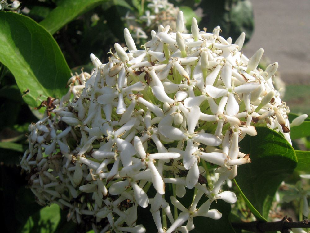 Ixora Paniculata
