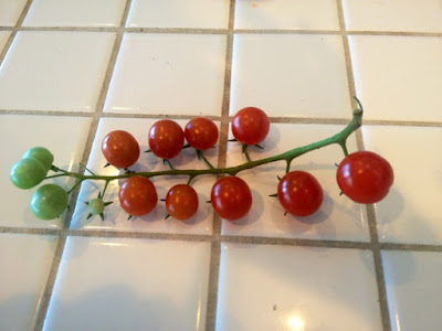 organic cherry tomatoes caroline gerardo