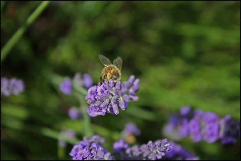 A bee on Lavendin at Castle Farm Lavender - The Hop Shop