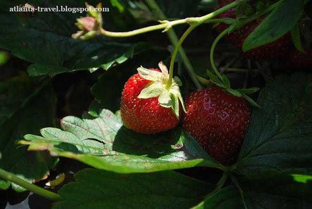 https://lh3.googleusercontent.com/-4UR2_PNhyc8/TeQTu4TDPCI/AAAAAAAAECg/NnqSjOfgvGA/s640/strawberry_farm-1.jpg