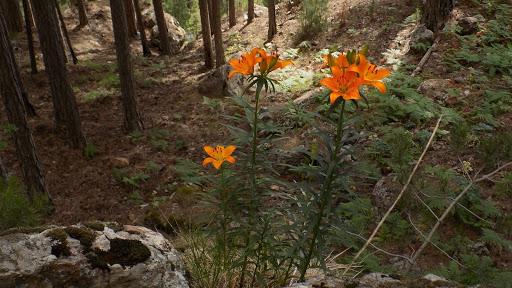Dans la descente du Monte Saltare, lys orangés entre ronciers et genêts