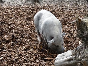 2018.08.25-003 cochon