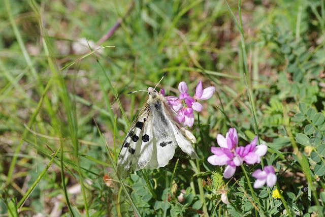 Parnassius apollo provincialis Kheil, 1905, femelle. Montagne de Lure (1520 m), (Vaucluse), 23 juin 2015. Photo : J.-M. Gayman