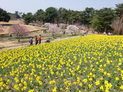 早咲きスイセンと菜の花を見にひたちなか海浜公園