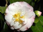 白色地 縁紅ぼかし 八重咲き 中〜大輪