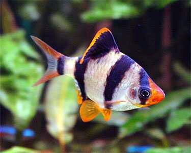 14 Freshwater Aquarium fishes which are compatible with each other