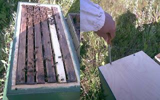 пчёлы в ловушке