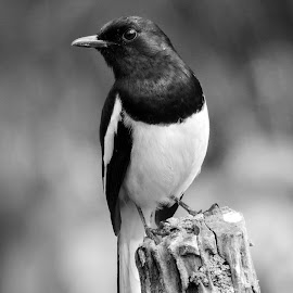 Robin  by Asif Bora - Black & White Animals (  )