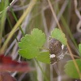 Noctuidae : Acontiinae : Tyta luctuosa [DENIS & SCHIFFERMÜLLER], 1775. Les Hautes-Lisières (Rouvres, 28), 29 juin 2011. Photo : J.-M. Gayman
