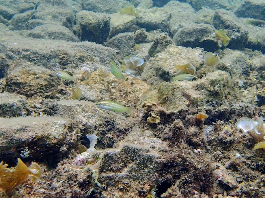 Unidentified Wrasse, Lusong Island, Coral Garden Reef, Palawan, Philippines.
