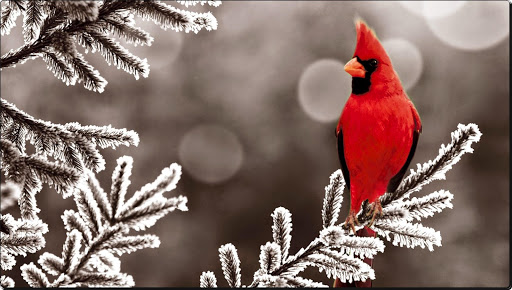 Red Cardinal in Winter.jpg