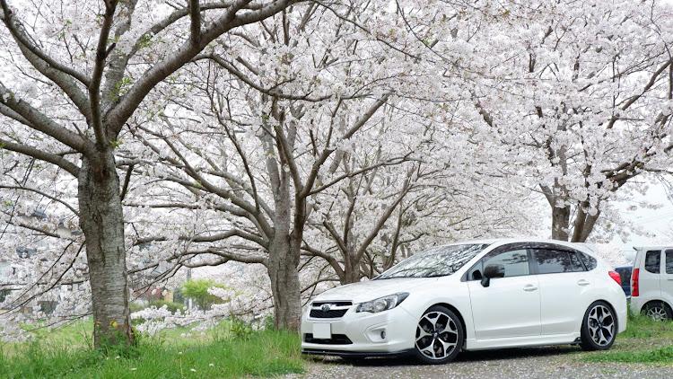 インプレッサ スポーツ GP6の桜と愛車,桜とコラボ,桜とスバル,桜に関するカスタム&メンテナンスの投稿画像2枚目