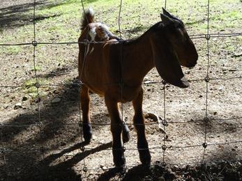 2017.08.06-031 chèvre syrienne