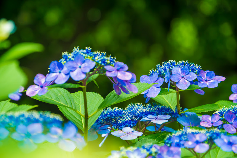 Hydrangea flowers at Takahatafudoson Kongoji Temple11