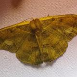 Uraniidae : Epiplemidae : Syngria sp. (S. druidaria Guenée, 1852 ?). Mount Totumas, 1900 m (Chiriquí, Panamá), 23 octobre 2014. Photo : J.-M. Gayman