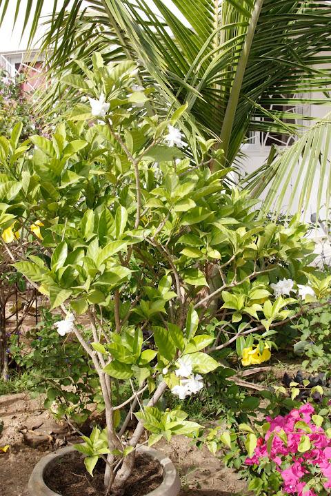Mon jardin senegalais _MG_4808
