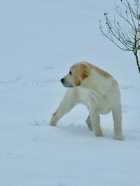 White Labrador Retriever stand in snow, looking back over shoulder