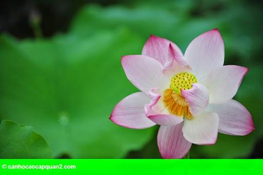 Hình 6: Hà Nội rực rỡ mùa hoa sen