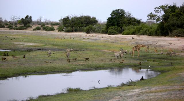 Chobe Game Reserve - monkeys, zebras, giraffes, and impala