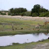 Chobe Game Reserve - monkeys, zebras, giraffes, and impala